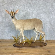 Southern Bush Duiker Life-Size Taxidermy Mount For Sale