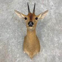 Bush Duiker Shoulder Mount For Sale #21535 @ The Taxidermy Store
