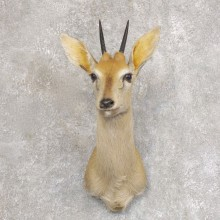 Bush Duiker Shoulder Mount For Sale #22237 @ The Taxidermy Store
