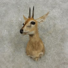Bush Duiker Taxidermy Shoulder Mount For Sale
