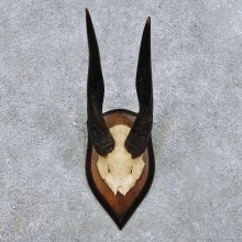 Bushbuck Skull Cap & Horn Mount For Sale #14452 @ The Taxidermy Store