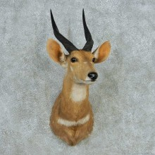 Cape Bushbuck Shoulder Mount #13643 For Sale @ The Taxidermy Store