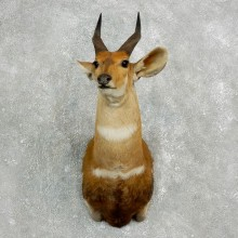 Cape Bushbuck Taxidermy Shoulder Mount For Sale