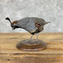 California Quail Bird Mount For Sale #22818 @ The Taxidermy Store