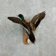 Call Duck Taxidermy Bird Mount For Sale