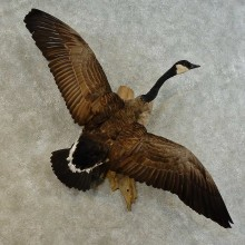 Canada Goose Taxidermy Bird Mount For Sale