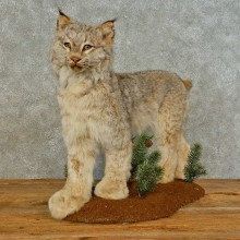 Alaskan Lynx Life-Size Taxidermy Mount For Sale