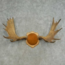Eastern Canadian Moose Taxidermy Antler Plaque For Sale