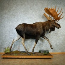 Canadian Moose Life-Size Taxidermy Mount #13274 For Sale @ The Taxidermy Store