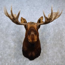 Eastern Canadian Moose Taxidermy Shoulder Mount For Sale