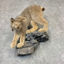 Canadian Lynx Life-Size Taxidermy Mount For Sale #21604 @ The Taxidermy Store
