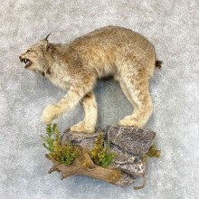 Canadian Lynx Life-Size Taxidermy Mount For Sale #22370 @ The Taxidermy Store