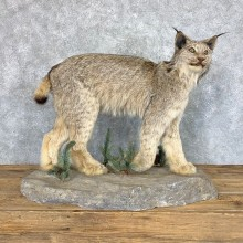 Canadian Lynx Life-Size Taxidermy Mount For Sale #22857 @ The Taxidermy Store