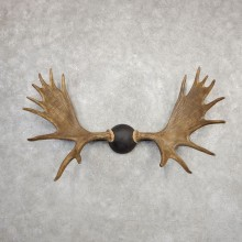 Canadian Moose Antler Plaque For Sale #20332 @ The Taxidermy Store
