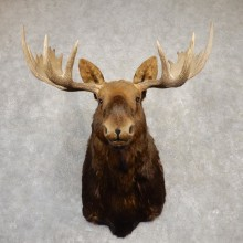 Canadian Moose Head Taxidermy Shoulder Mount For Sale