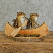 Canoe Chipmunk Pair Novelty Taxidermy Mount For Sale