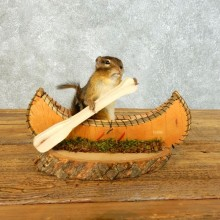Canoe Chipmunk Novelty Mount For Sale #18488 @ The Taxidermy Store
