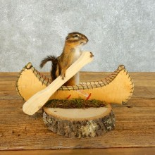 Canoe Chipmunk Novelty Mount For Sale #18490 @ The Taxidermy Store