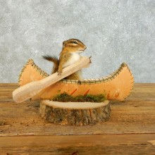 Canoe Chipmunk Novelty Mount For Sale #18492 @ The Taxidermy Store