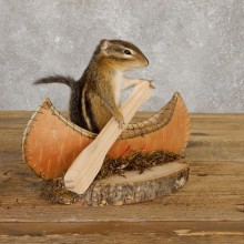 Canoe Chipmunk Novelty Mount For Sale #20127 @ The Taxidermy Store