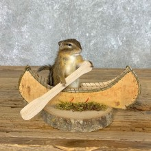 Canoe Chipmunk Novelty Mount For Sale #22607 @ The Taxidermy Store