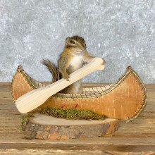 Canoe Chipmunk Novelty Mount For Sale #22618 @ The Taxidermy Store