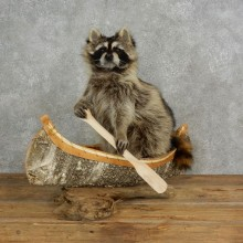 Canoeing Raccoon Novelty Mount For Sale #17115 @ The Taxidermy Store