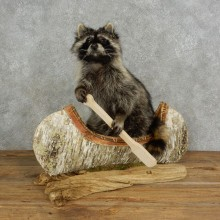 Canoeing Raccoon Novelty Mount For Sale #17116 @ The Taxidermy Store