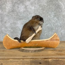 Canoeing Muskrat Novelty Mount For Sale #22411 @ The Taxidermy Store