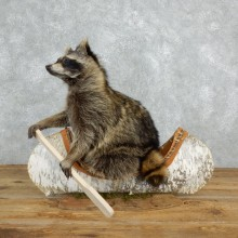 Canoeing Raccoon Novelty Mount For Sale #18260 @ The Taxidermy Store