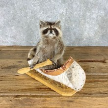 Canoeing Raccoon Novelty Mount For Sale #22309 @ The Taxidermy Store