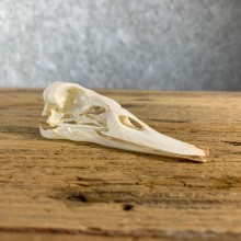 Canvasback Duck Skull For Sale