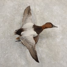 Canvasback Duck Taxidermy Bird Mount For Sale #20697 @ The Taxidermy Store