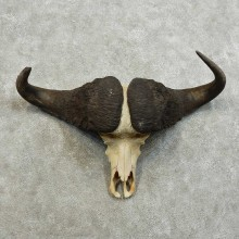 Cape Buffalo Skull European Mount For Sale #16022 @ The Taxidermy Store