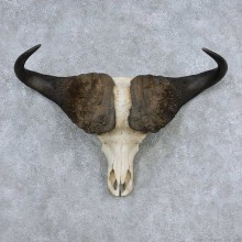 Cape Buffalo Skull Horns Mount For Sale #13907 For Sale @ The Taxidermy Store