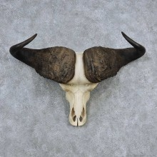 Cape Buffalo Skull Horns Mount For Sale #13909 For Sale @ The Taxidermy Store