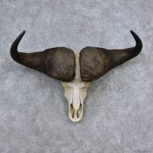 Cape Buffalo Skull Horns Mount For Sale #13910 For Sale @ The Taxidermy Store