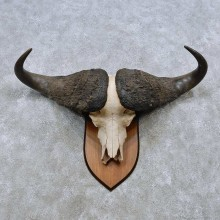 Cape Buffalo Skull European Mount For Sale #14504 @ The Taxidermy Store