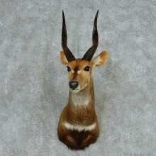 African Cape Bushbuck Shoulder Mount #13716 For Sale @ The Taxidermy Store