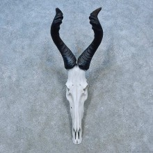 Hartebeest Skull & Horn European Mount For Sale #15527 @ The Taxidermy Store