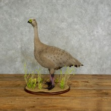 Cape Barren Goose Taxidermy Mount For Sale