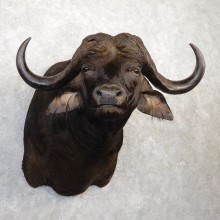 Cape Buffalo Shoulder Mount For Sale #20036 @ The Taxidermy Store