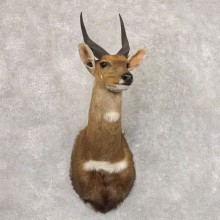 Cape Bushbuck Shoulder Mount For Sale #22165 @ The Taxidermy Store