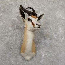 Cape Springbok Shoulder Mount For Sale #19556 @ The Taxidermy Store