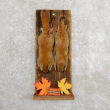 Captain's Classic Red Squirrel Display Taxidermy Mount #19734 For Sale @ The Taxidermy Store