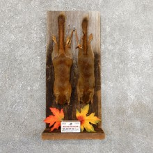 Captain's Classic Red Squirrel Display Taxidermy Mount #19737 For Sale @ The Taxidermy Store