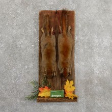 Captain's Classic Red Squirrel Display Taxidermy Mount #19744 For Sale @ The Taxidermy Store
