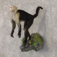 Capuchin Monkey Life-Size Taxidermy Mount For Sale