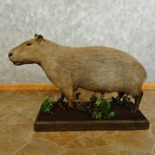 Capybara Life-sze Taxidermy Mount For Sale #16757 @ The Taxidermy Store