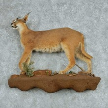 Standing African Caracal Life-Size Mount